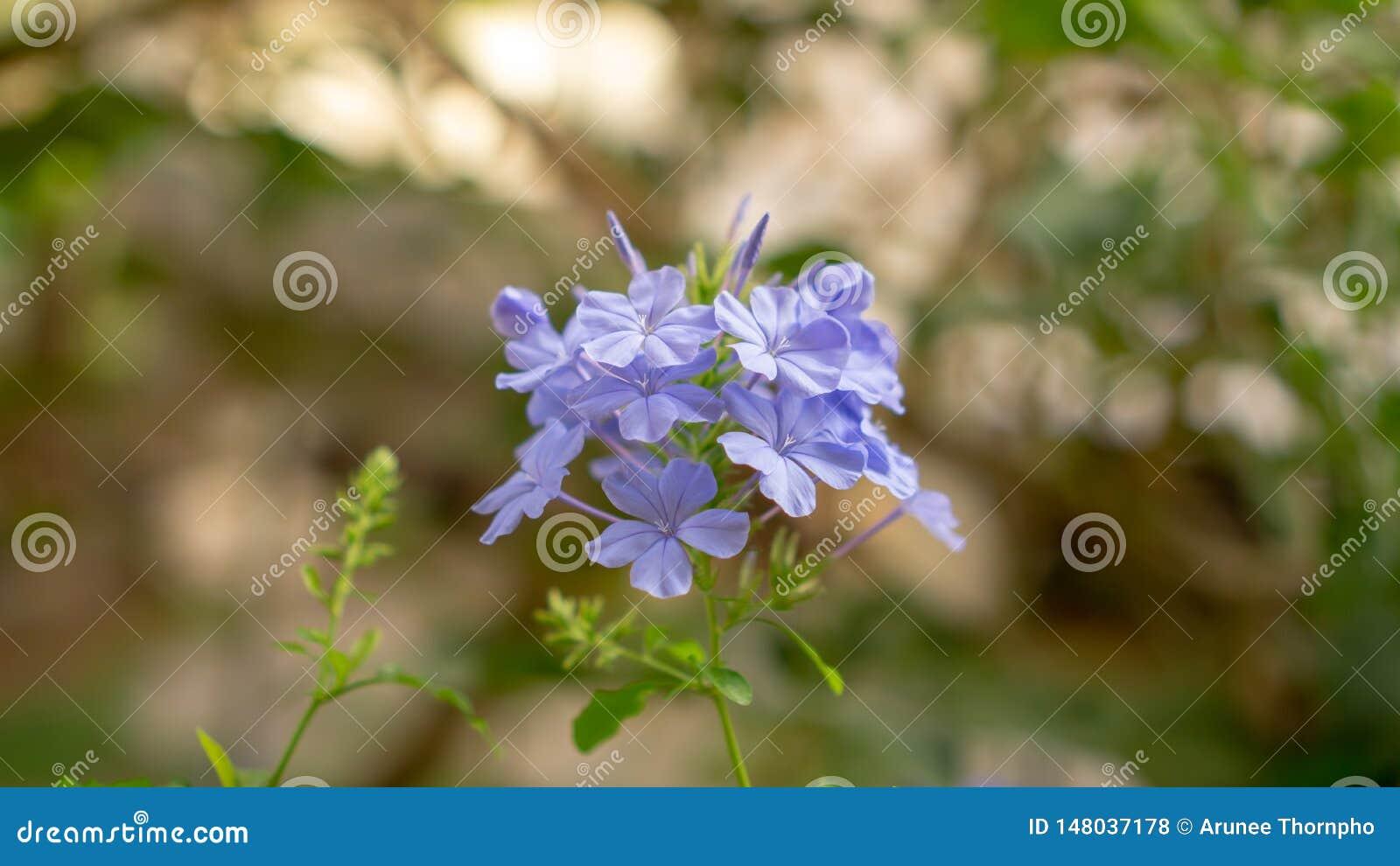 De bossen van blauwe uiterst kleine bloemblaadjes van Kaap die leadwort op groenbladeren en onscherpe achtergrond bloeit, kennen