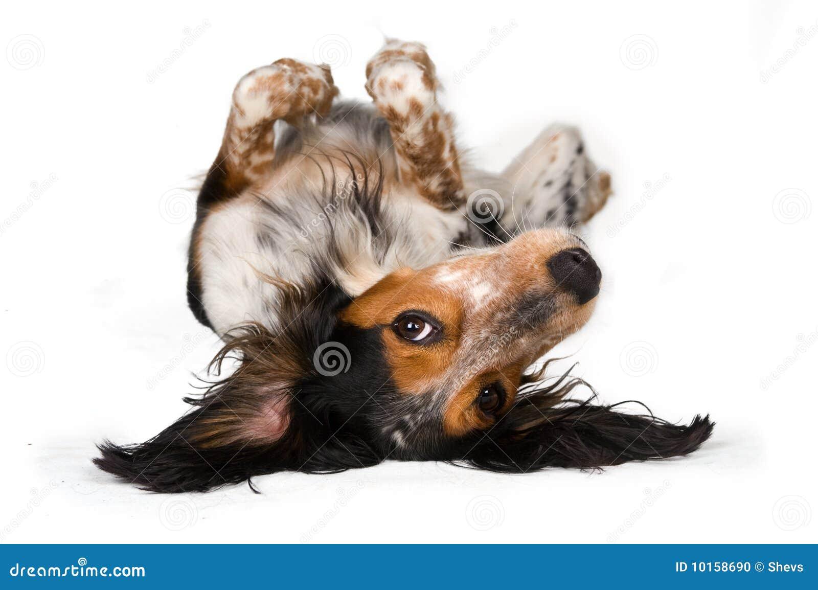 De bovenkant van de hond - neer