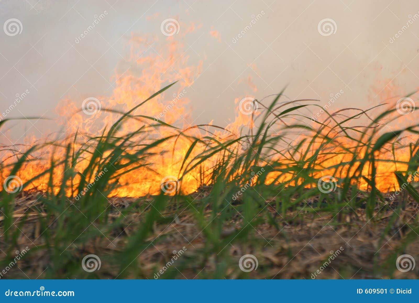 De brand van het riet
