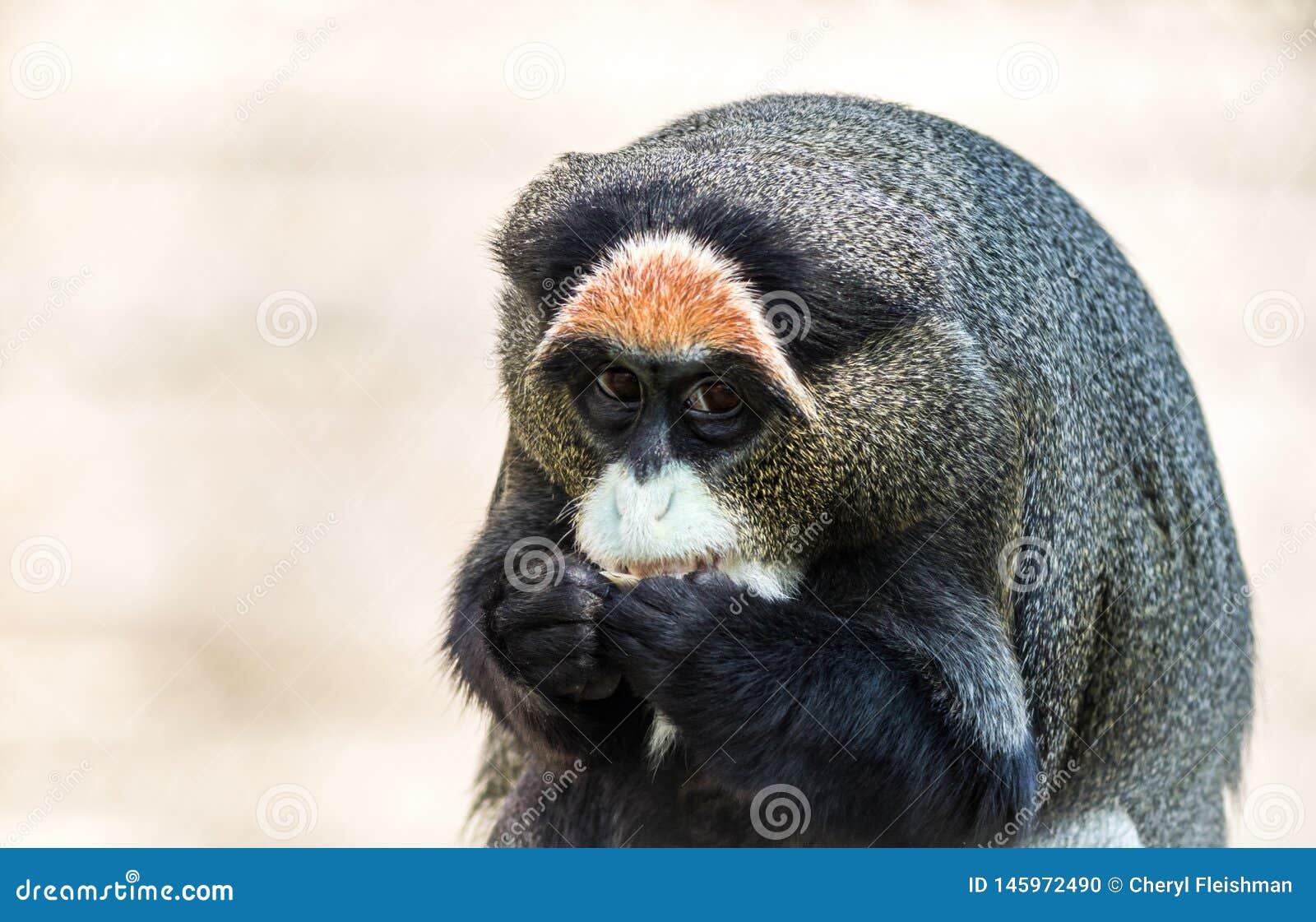 De Brazza`s Monkey, an attractive primate with distinctive fur