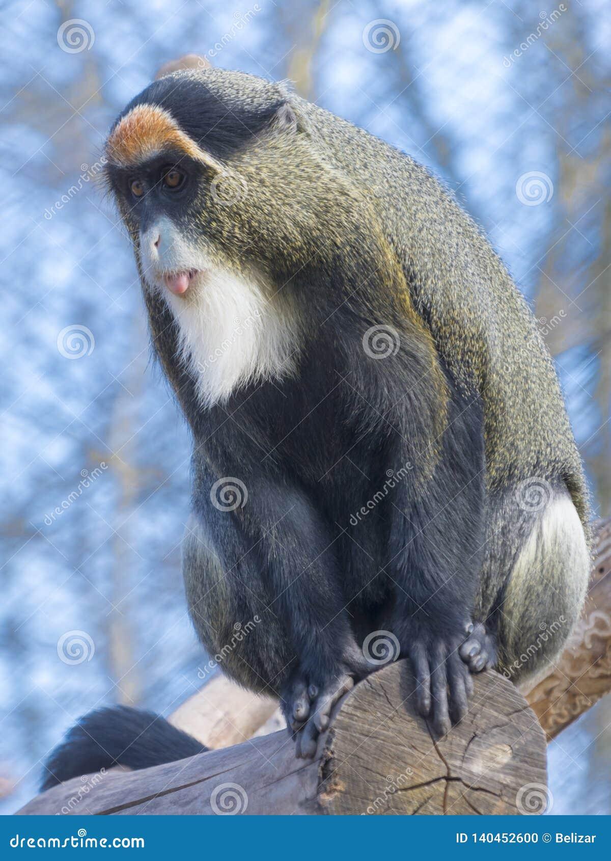 De Brazza`s monkey