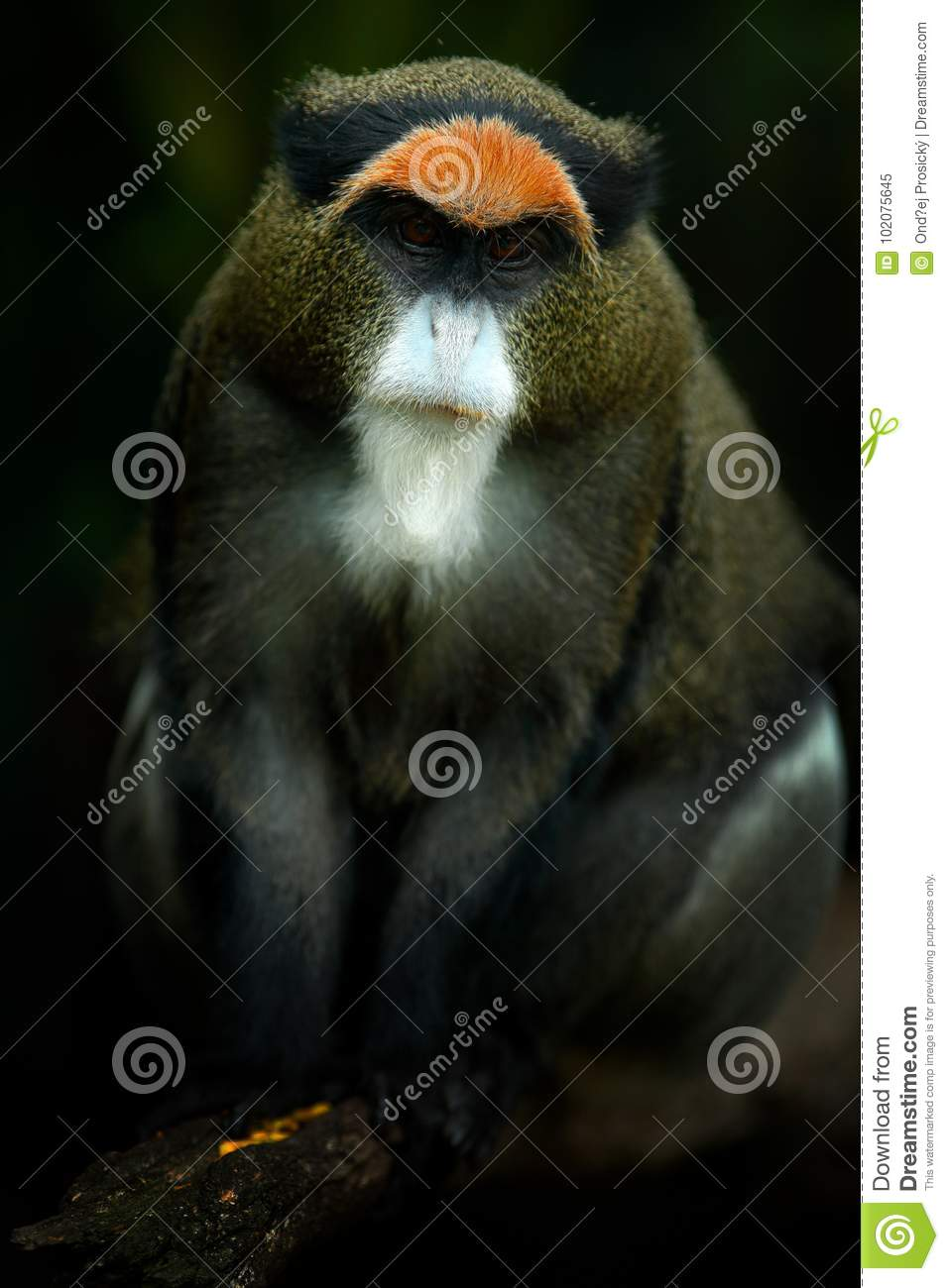 De Brazza`s monkey, Cercopithecus neglectus, sitting on tree branch in dark tropic forest. Animal in nature habitat, in forest. D