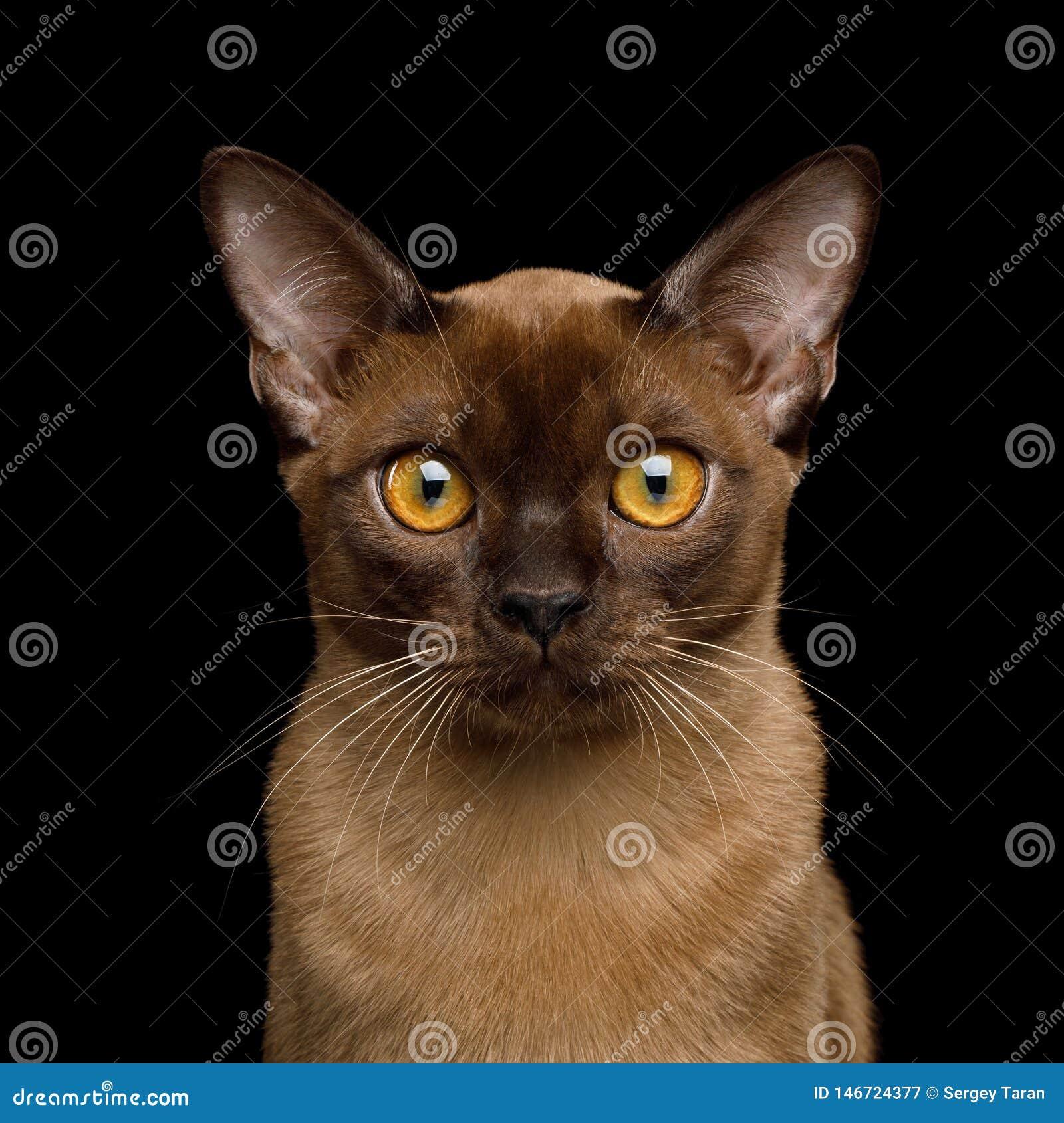 De bruine die kat van Birma op zwarte achtergrond wordt ge?soleerd