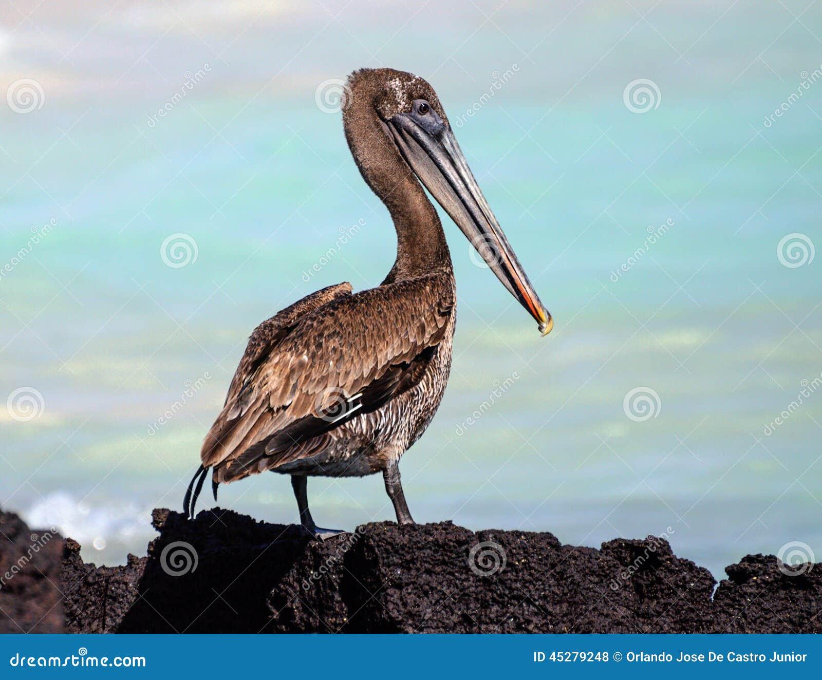 De Bruine Pelikaan van de Galapagos