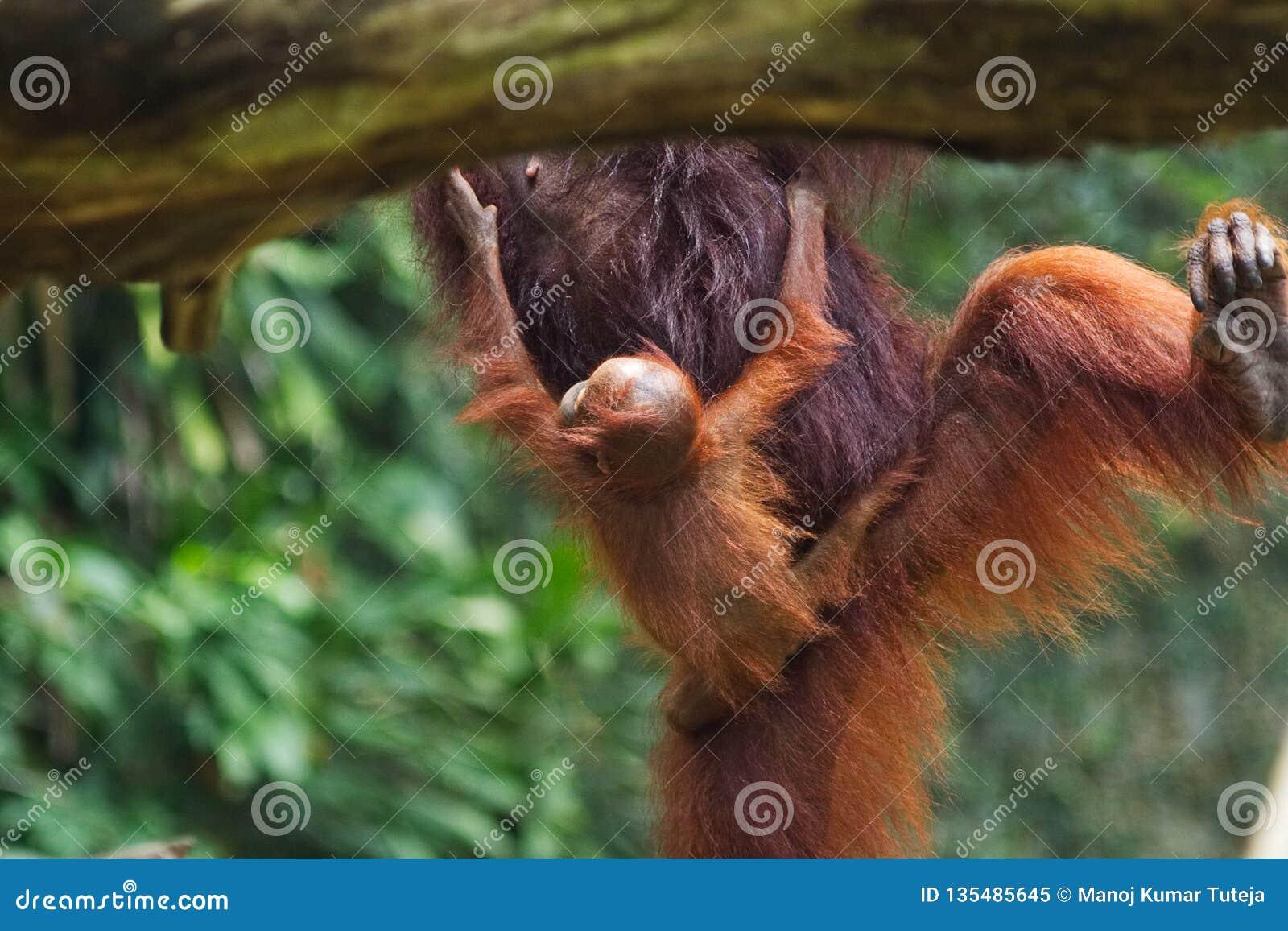 De buik van de holdingsmoeders van de babyorangoetan terwijl de moeder van boom aan boom springt