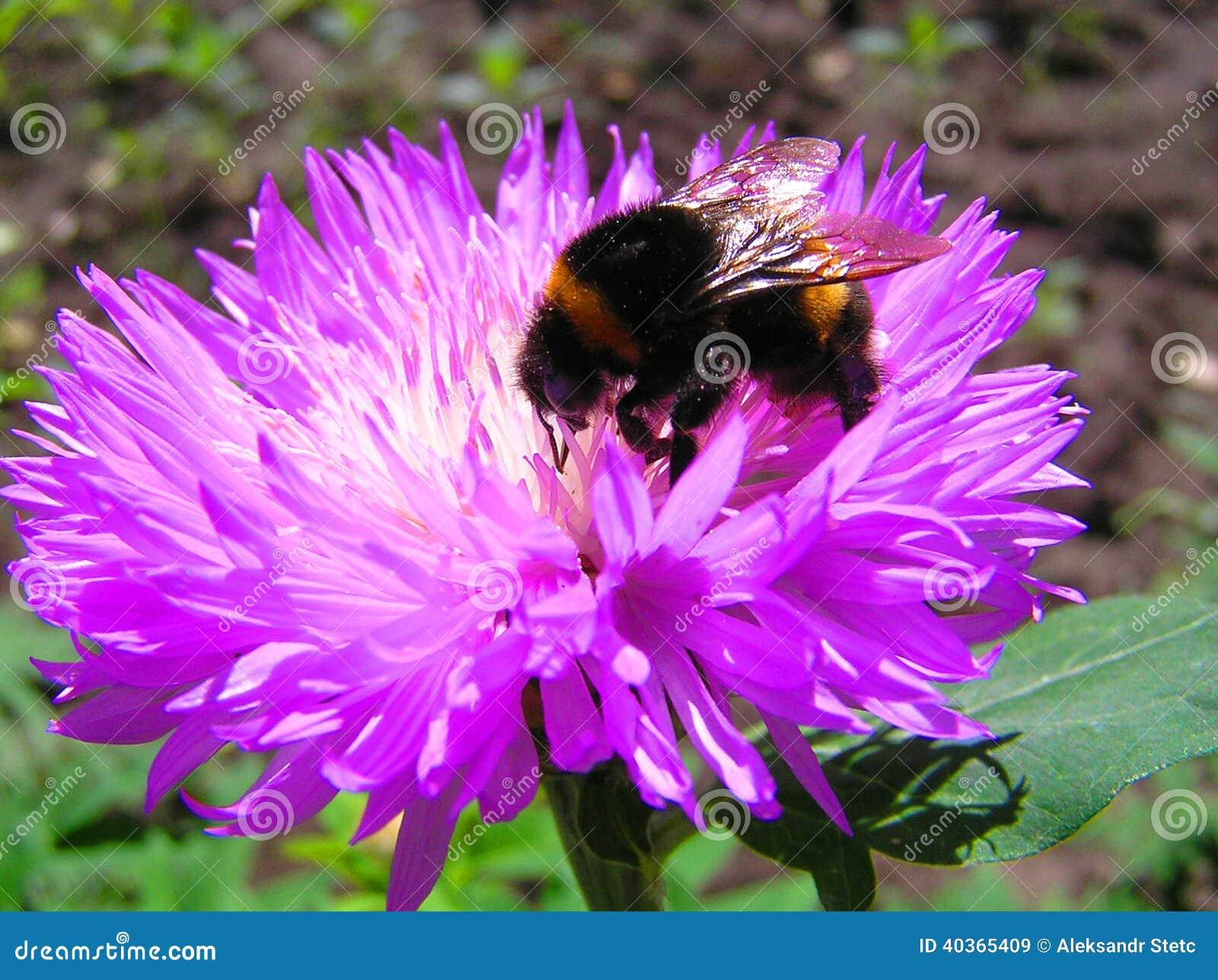 De Bumble bij op een bloem