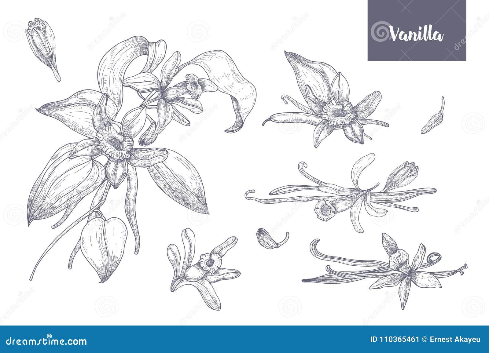 De bundel van natuurlijke die tekeningen van vanilleinstallaties met vruchten of peulen, het bloeien bloeit en bladeren op wit wo