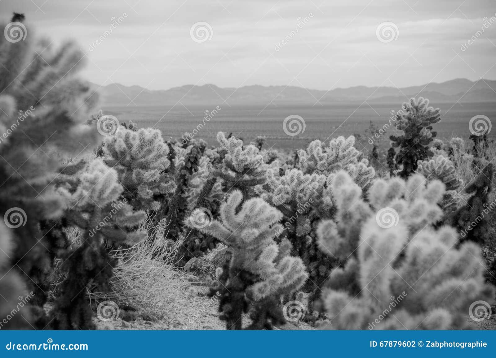 De Cactus van Cholla