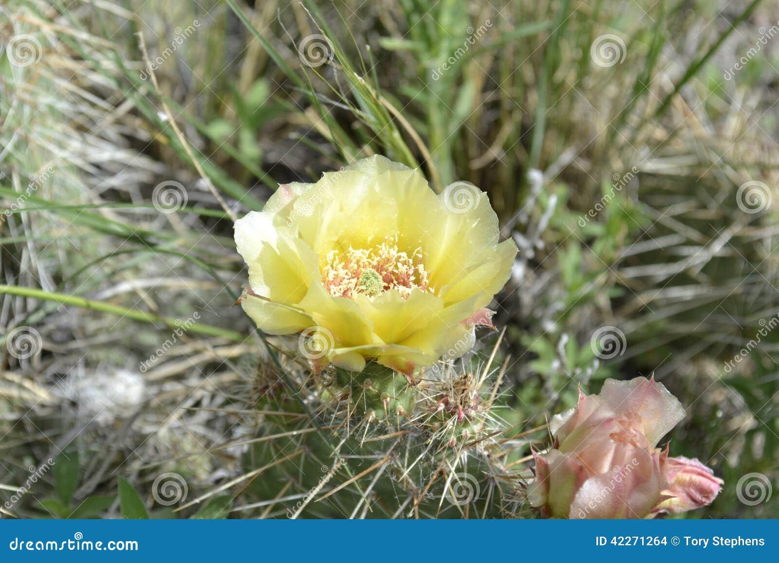 De Cactus van de Prickelypeer in bloei