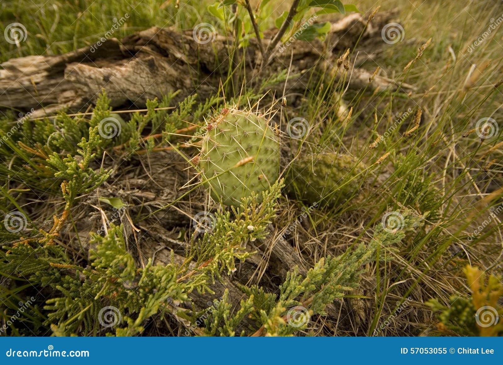 De Cactus van Saskatchewan