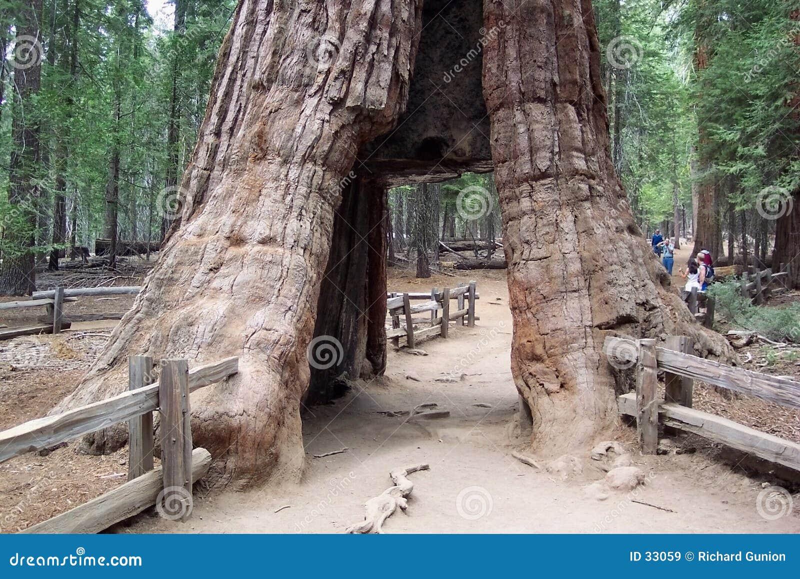 De Californische sequoia van Californië