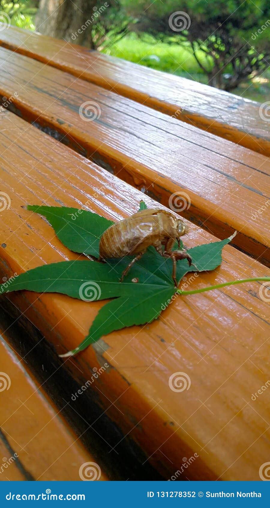 De cicade wordt gevangen op een esdoornblad