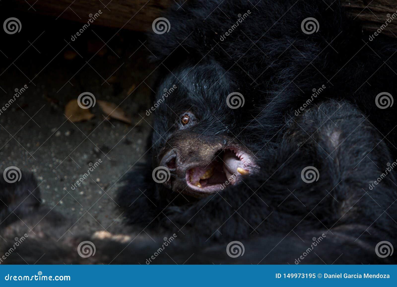 De close-up aan het gezicht van een volwassen Zwarte van Formosa draagt liggend op het bos