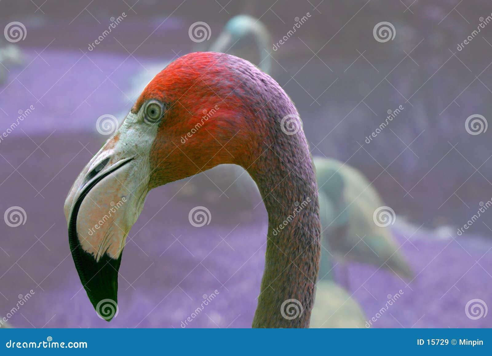 De Close-up van de flamingo