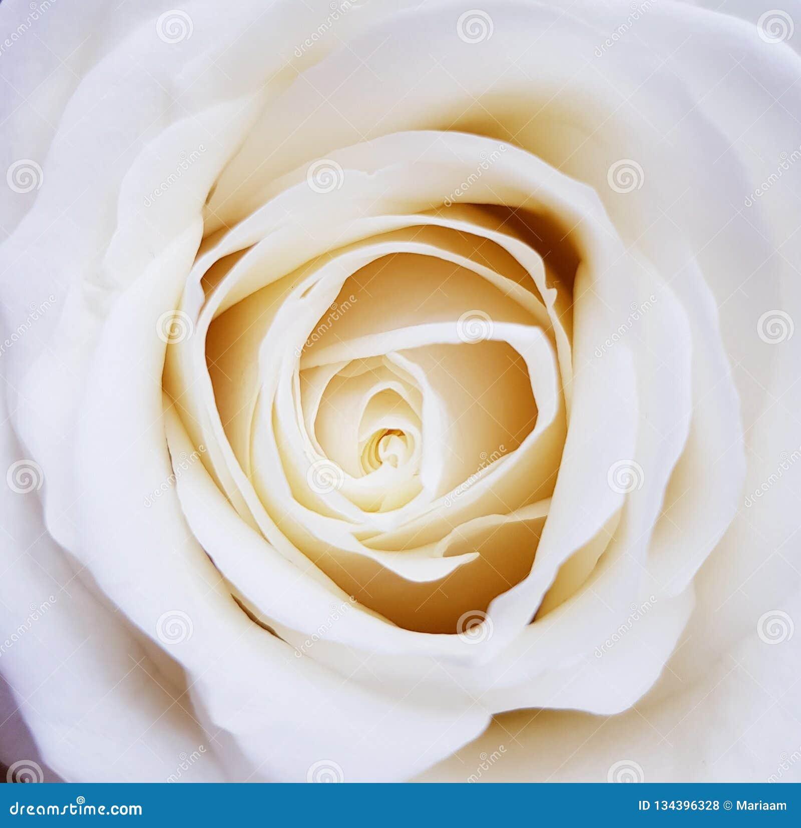 De close-up van mooie wit nam toe Schoonheid van bloemen