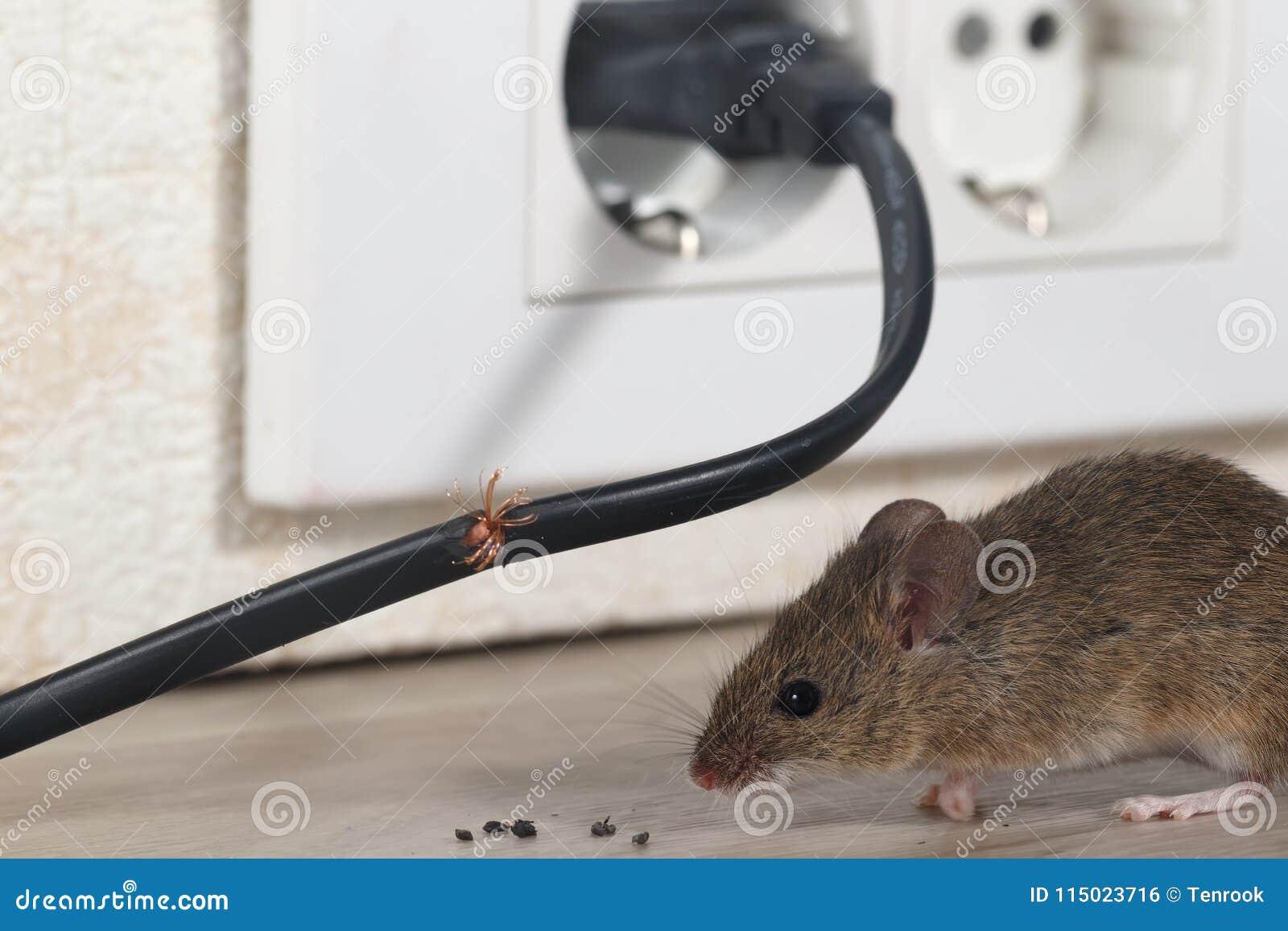De close-upmuis zit dichtbij gekauwde draad in een flatkeuken