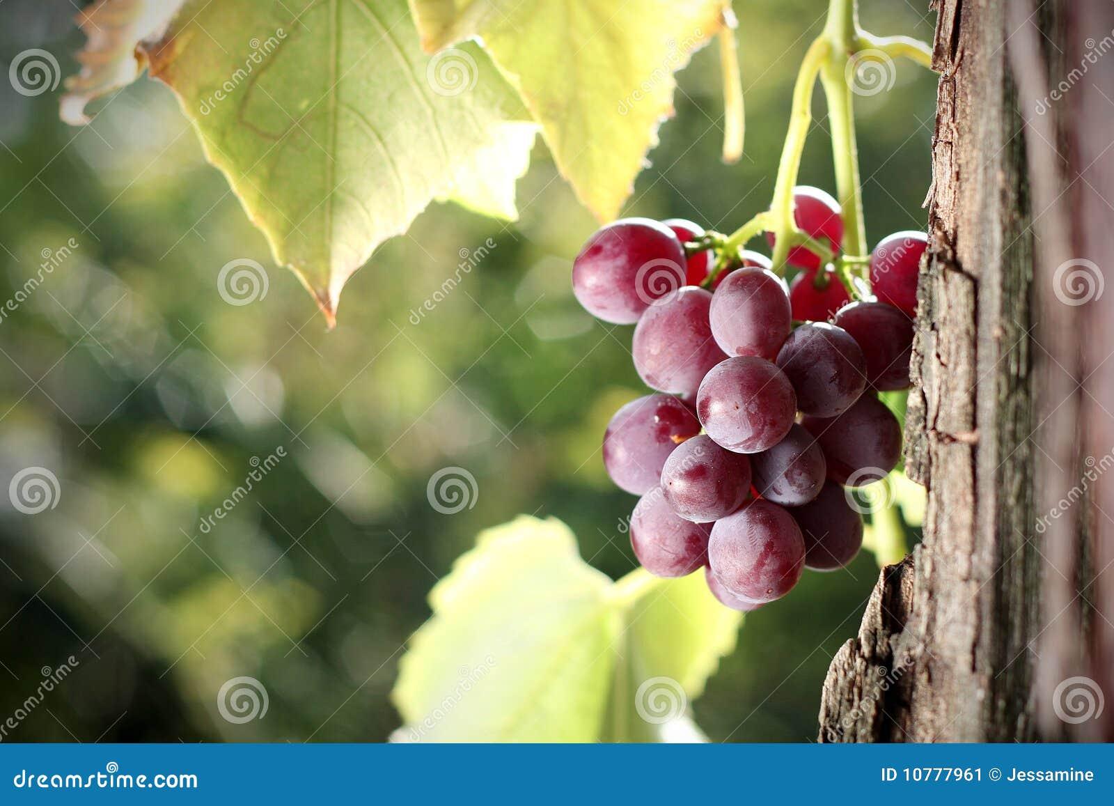 De cluster van de druif in wijngaard