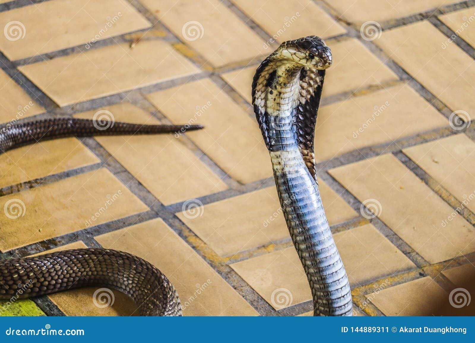 De cobra spreidde de kap uit