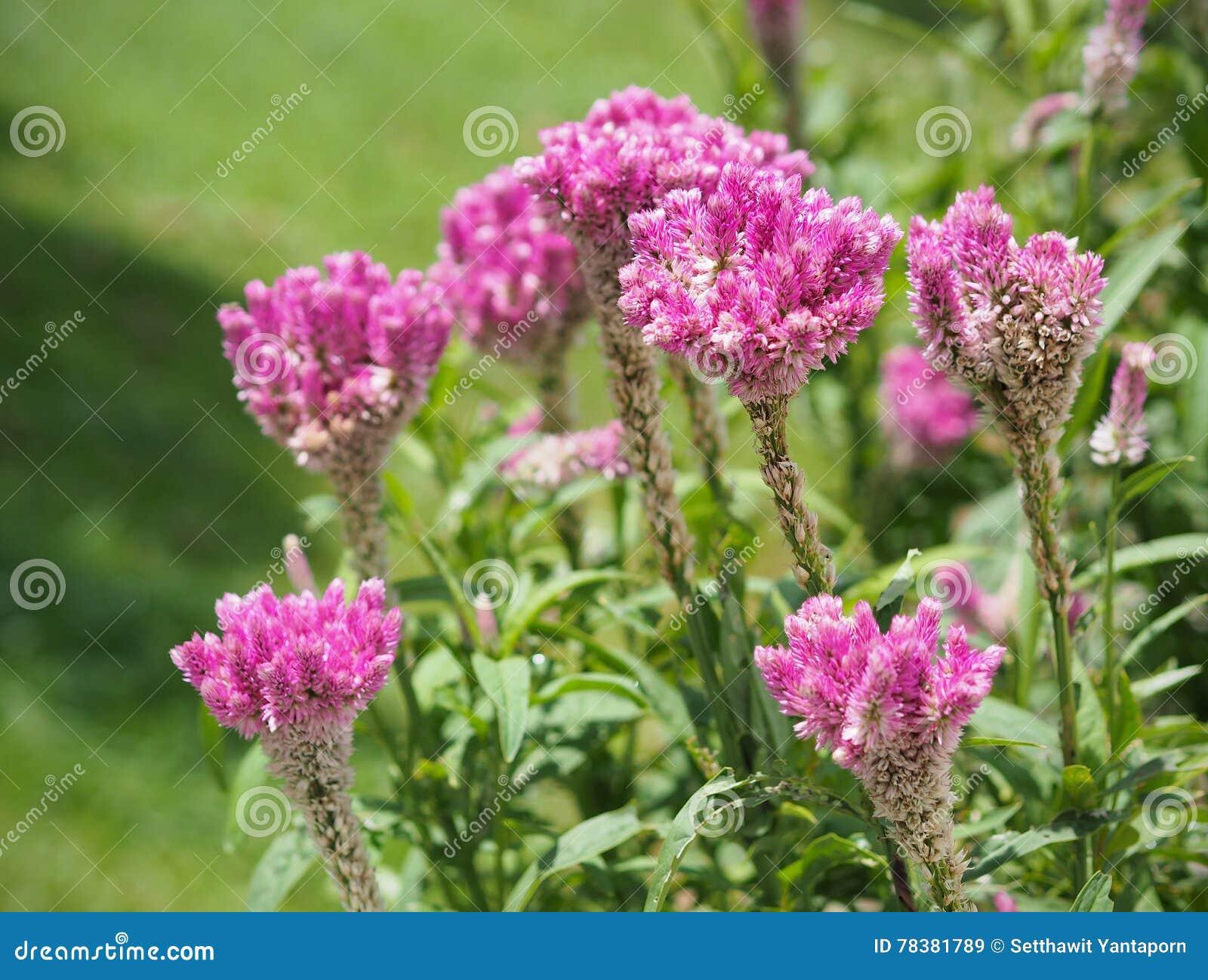 Planten In Tuin : De cockcombbloemen planten in tuin roze en witte kleur zachte foc