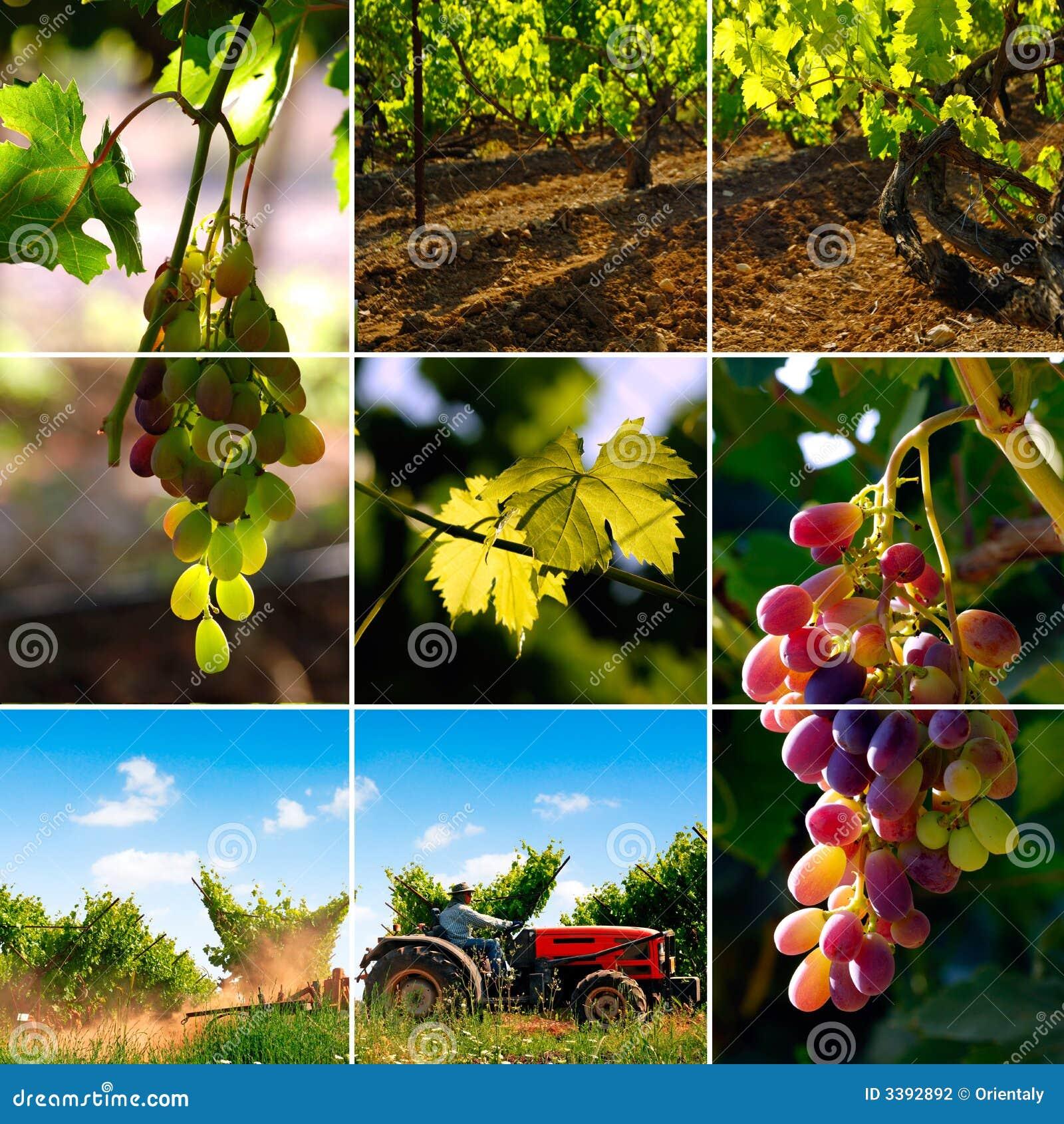 De collage van de wijngaard