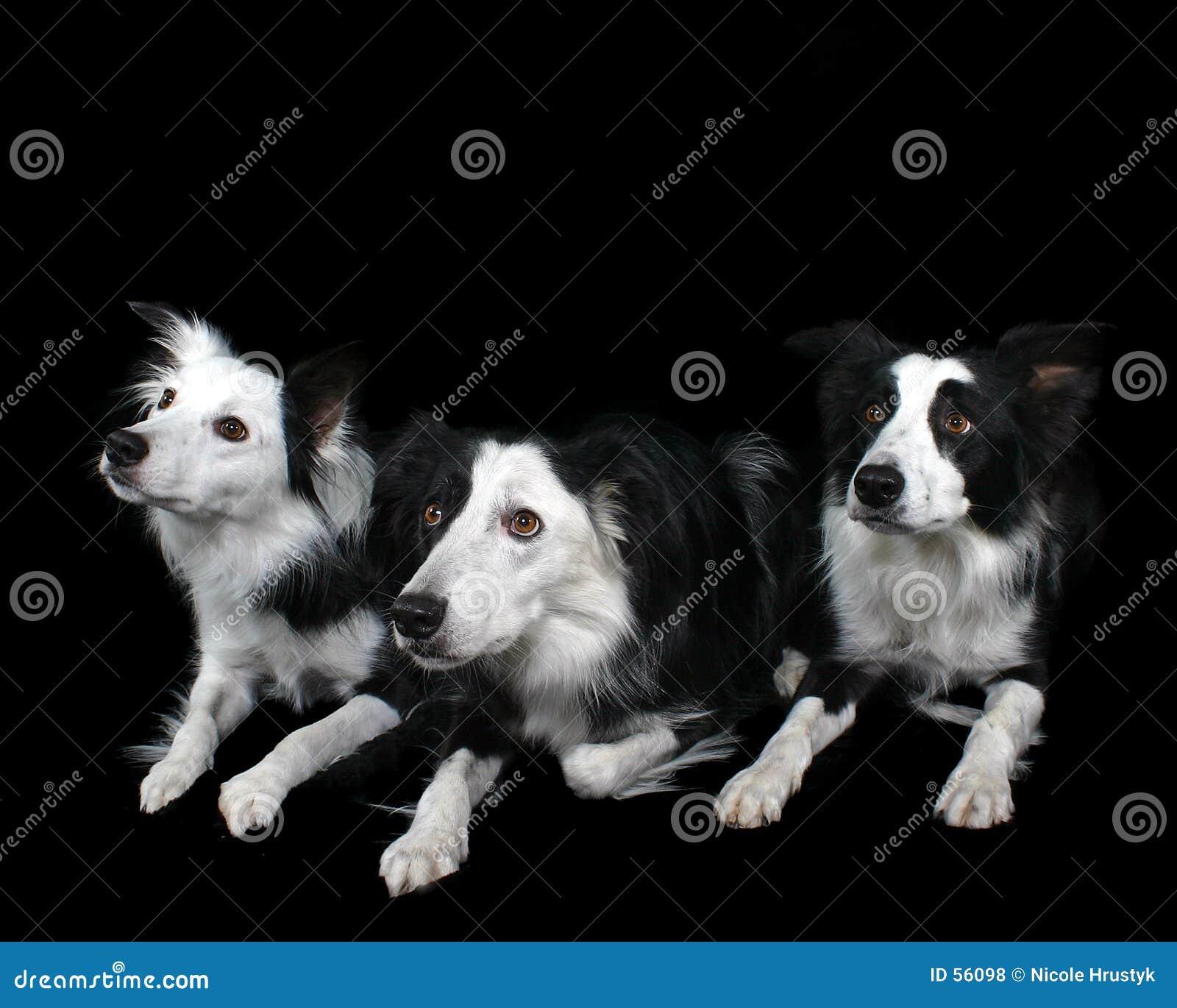 De Collie s van drie Grens