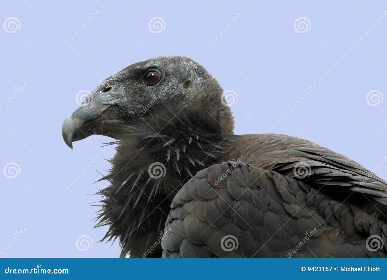 De Condor van Californië