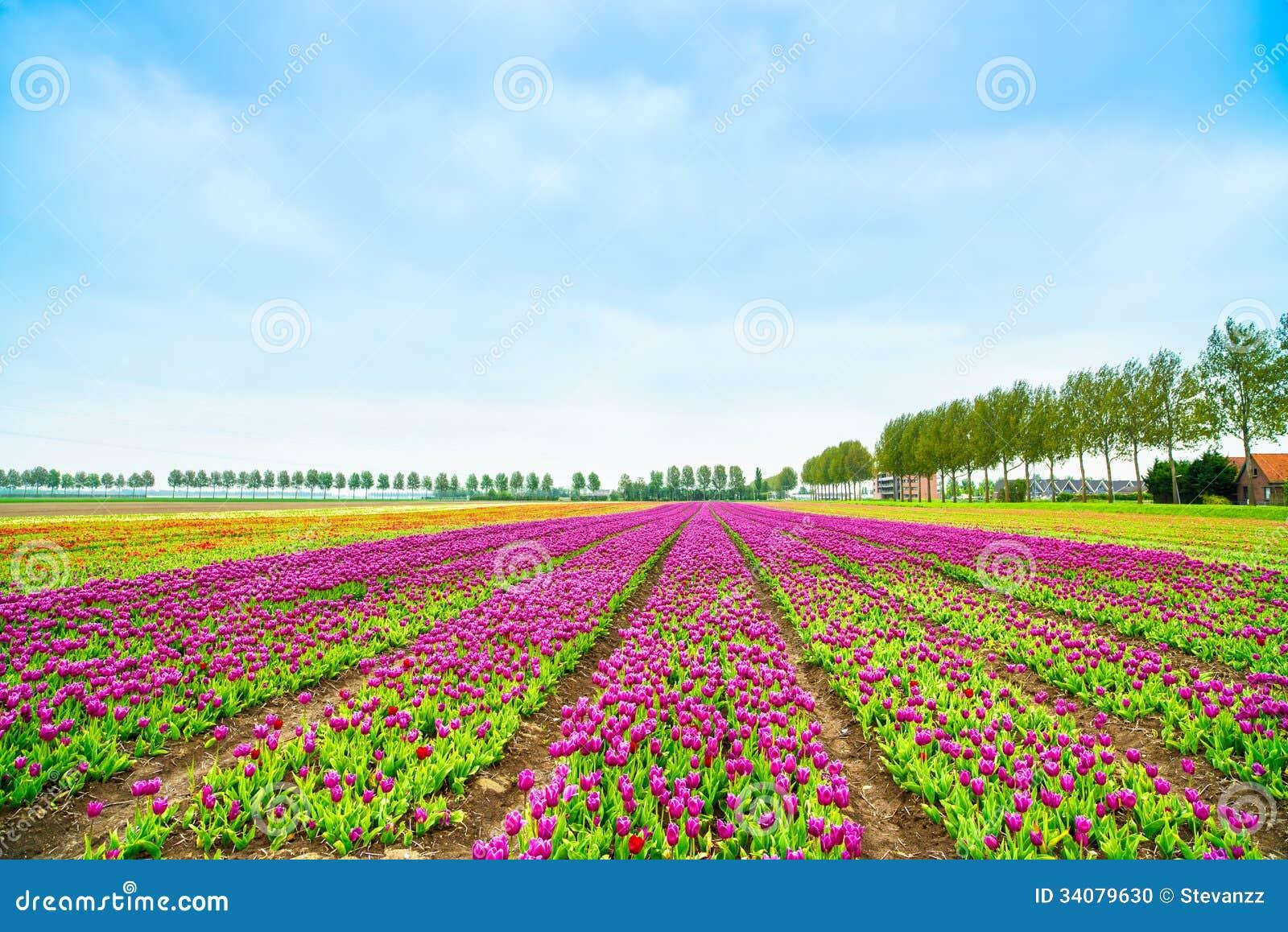 de cultuurgebied van tulpen blosssom bloemen in de lente holland of nederland stock foto. Black Bedroom Furniture Sets. Home Design Ideas
