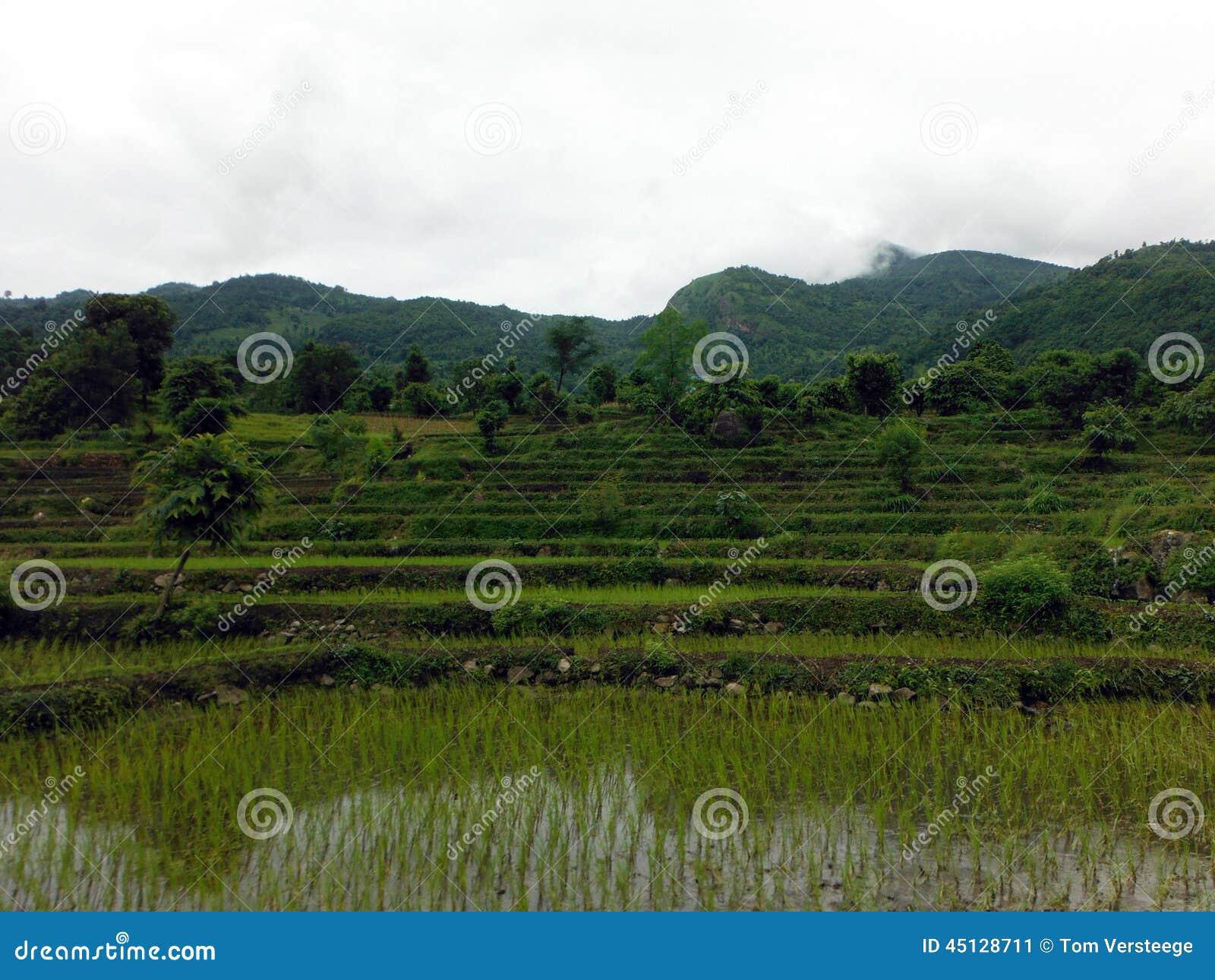 De dag van paddy fields during overcast monsoon van de for Monsoon de