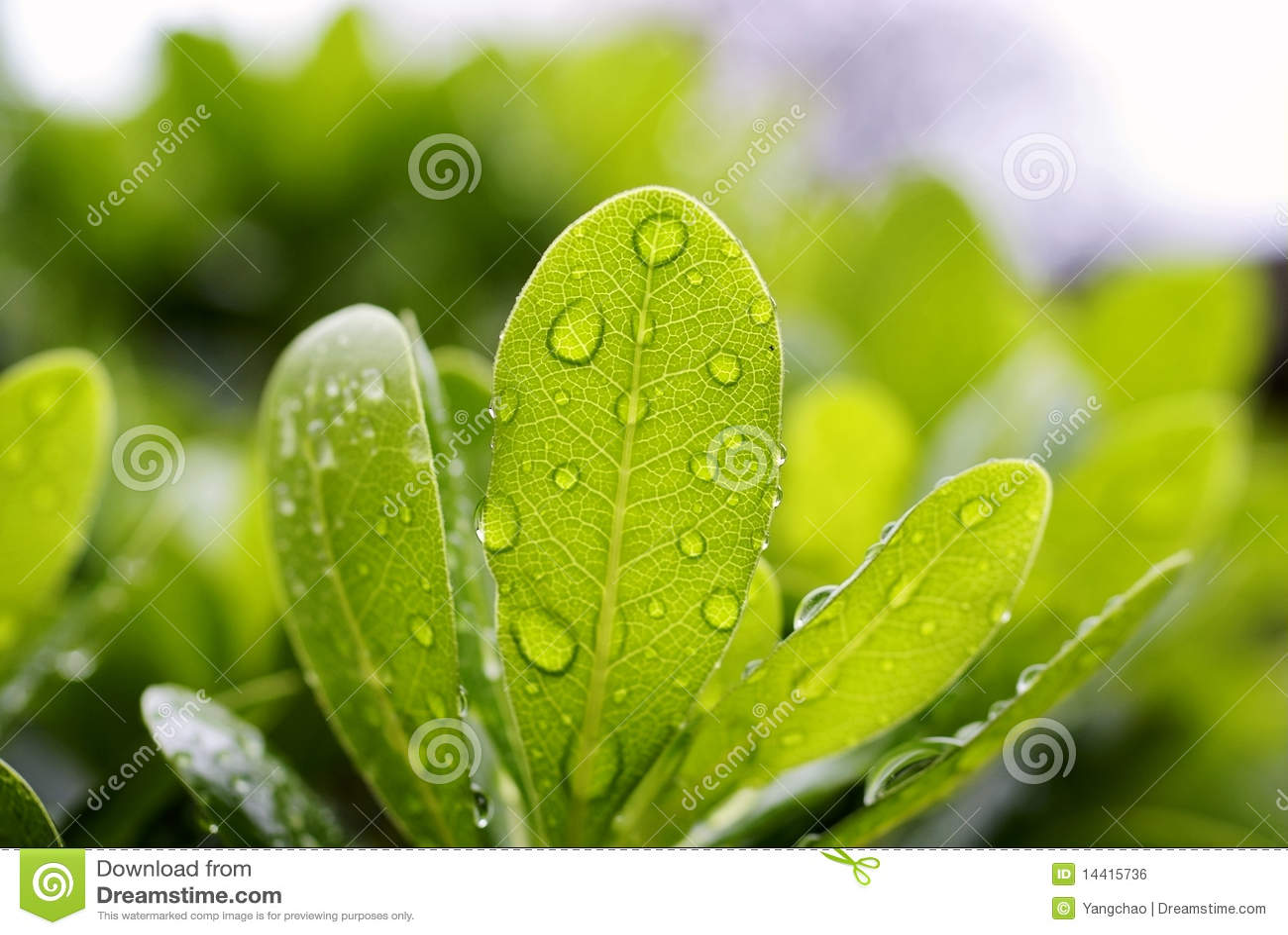 De daling van het water op blad royalty vrije stock afbeelding afbeelding 14415736 - Groen behang van het water ...