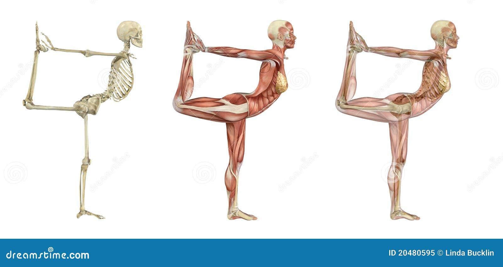 De Rug Van De Anatomie - Volwassen Mannetje Stock Illustratie ...