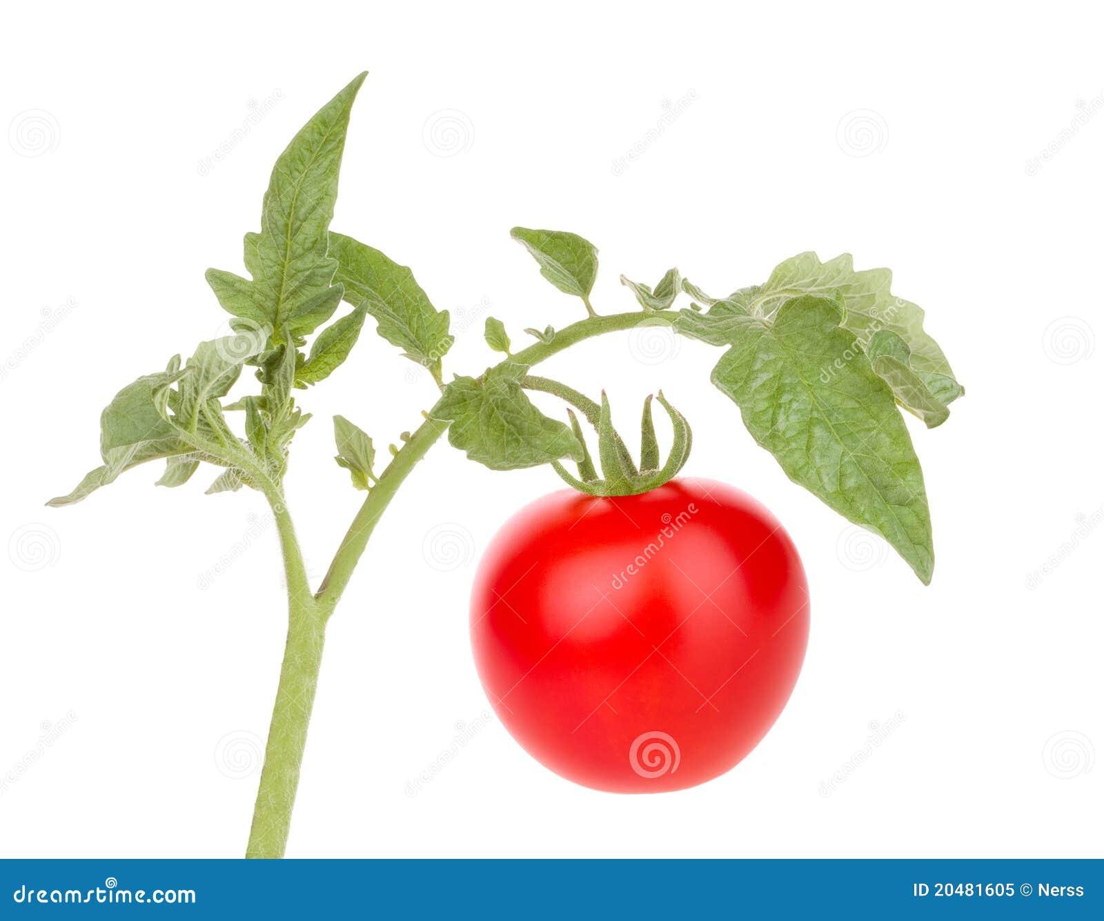 De de groententomaat van tomaten met doorbladert