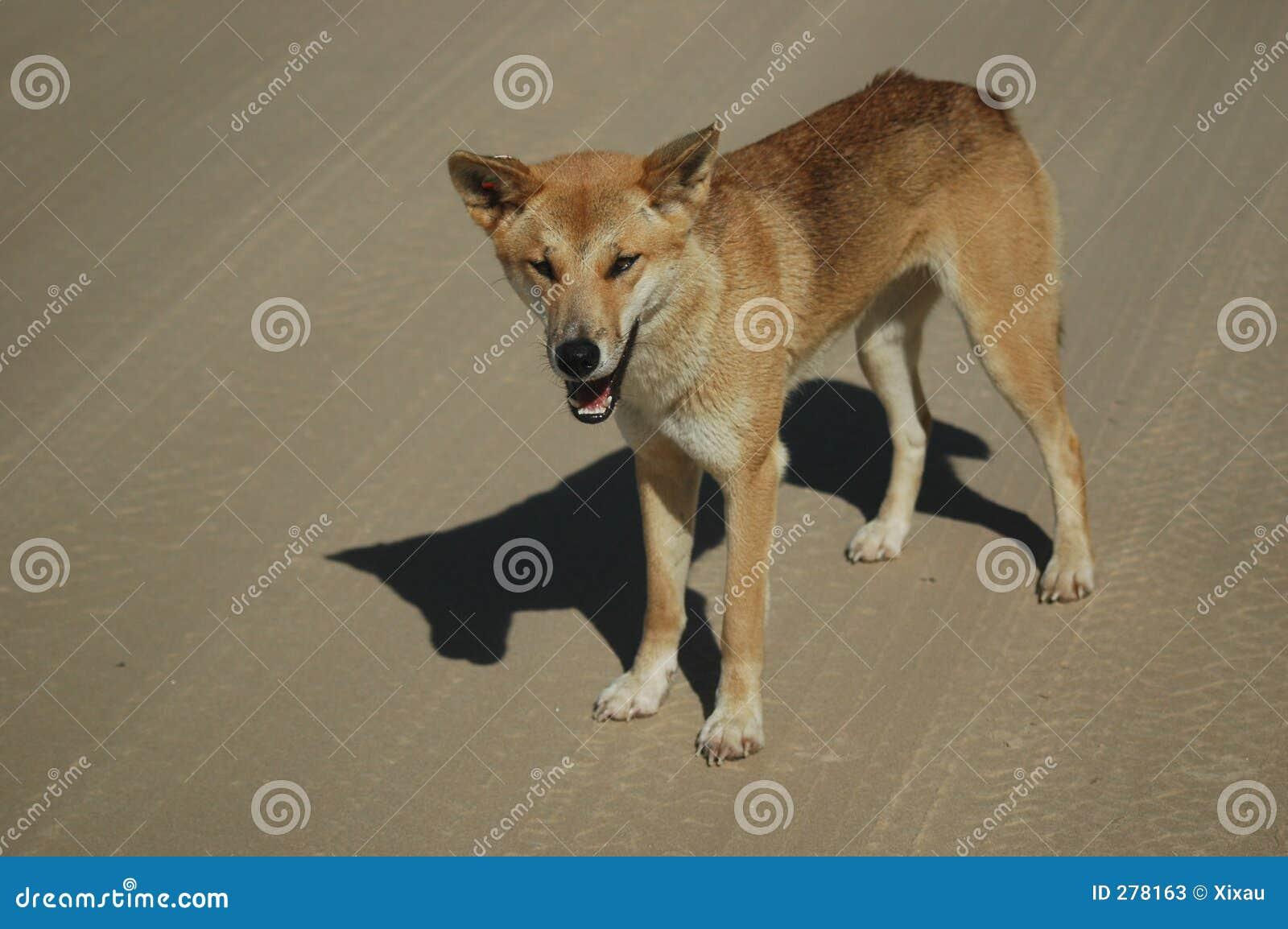 De Dingo van het Eiland van Fraser
