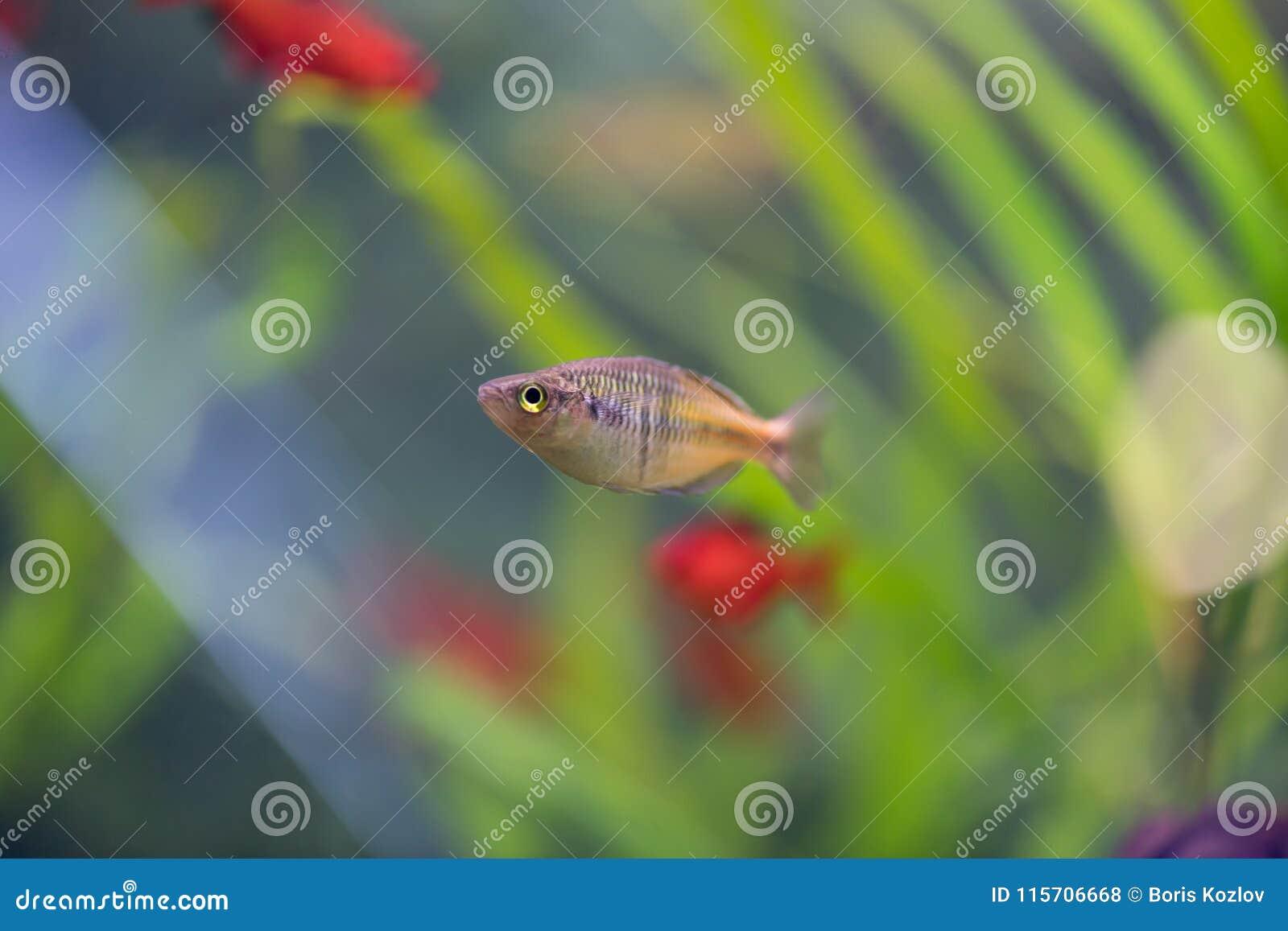 De Donaciinae-neonvissen in het aquarium Melanotaenia precox FI