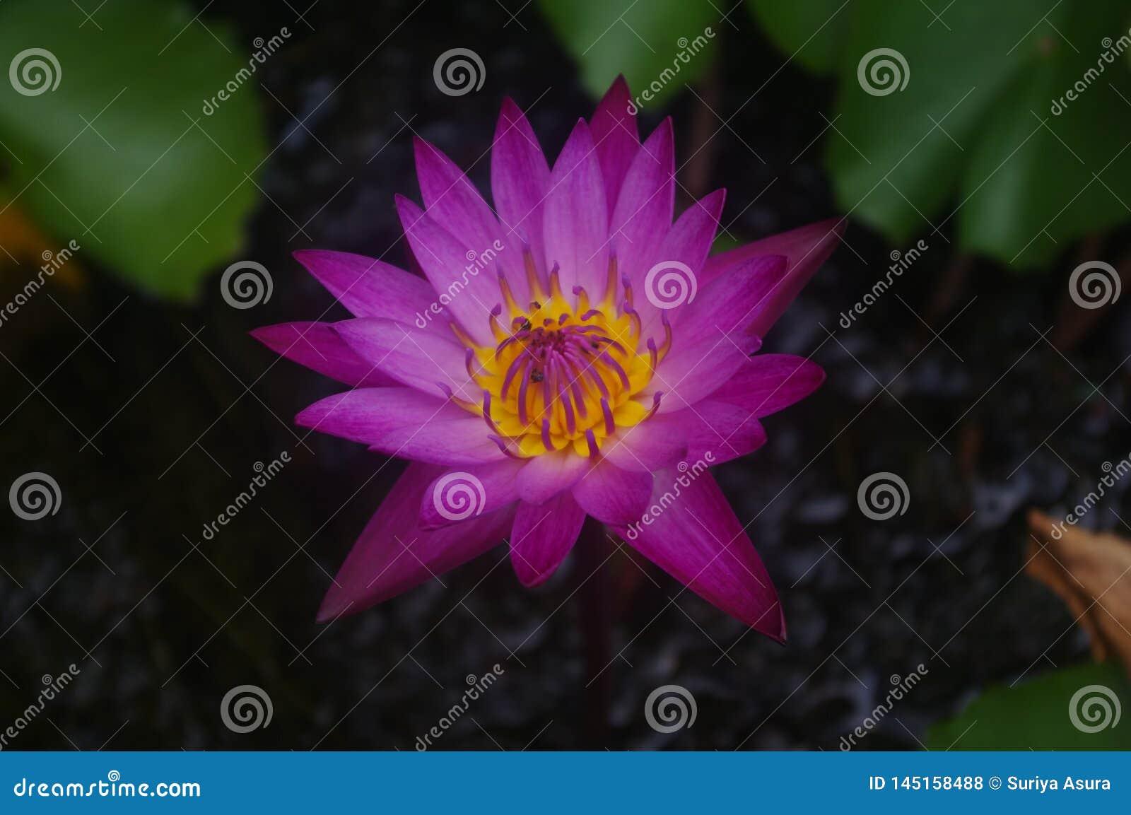 De donkere roze lotusbloem bestaat uit Gele stamens met insectklimmers