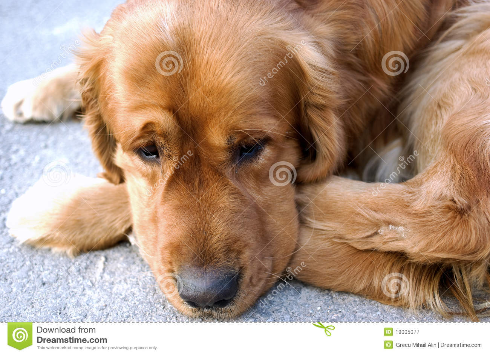 De droevige hond ziet eruit