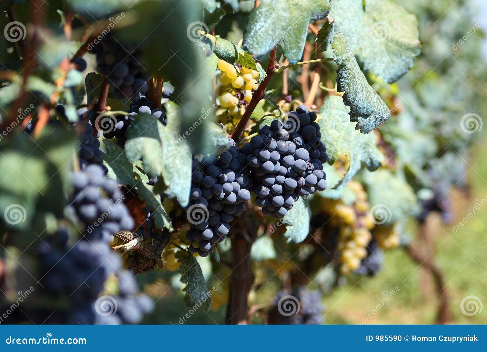 De druif