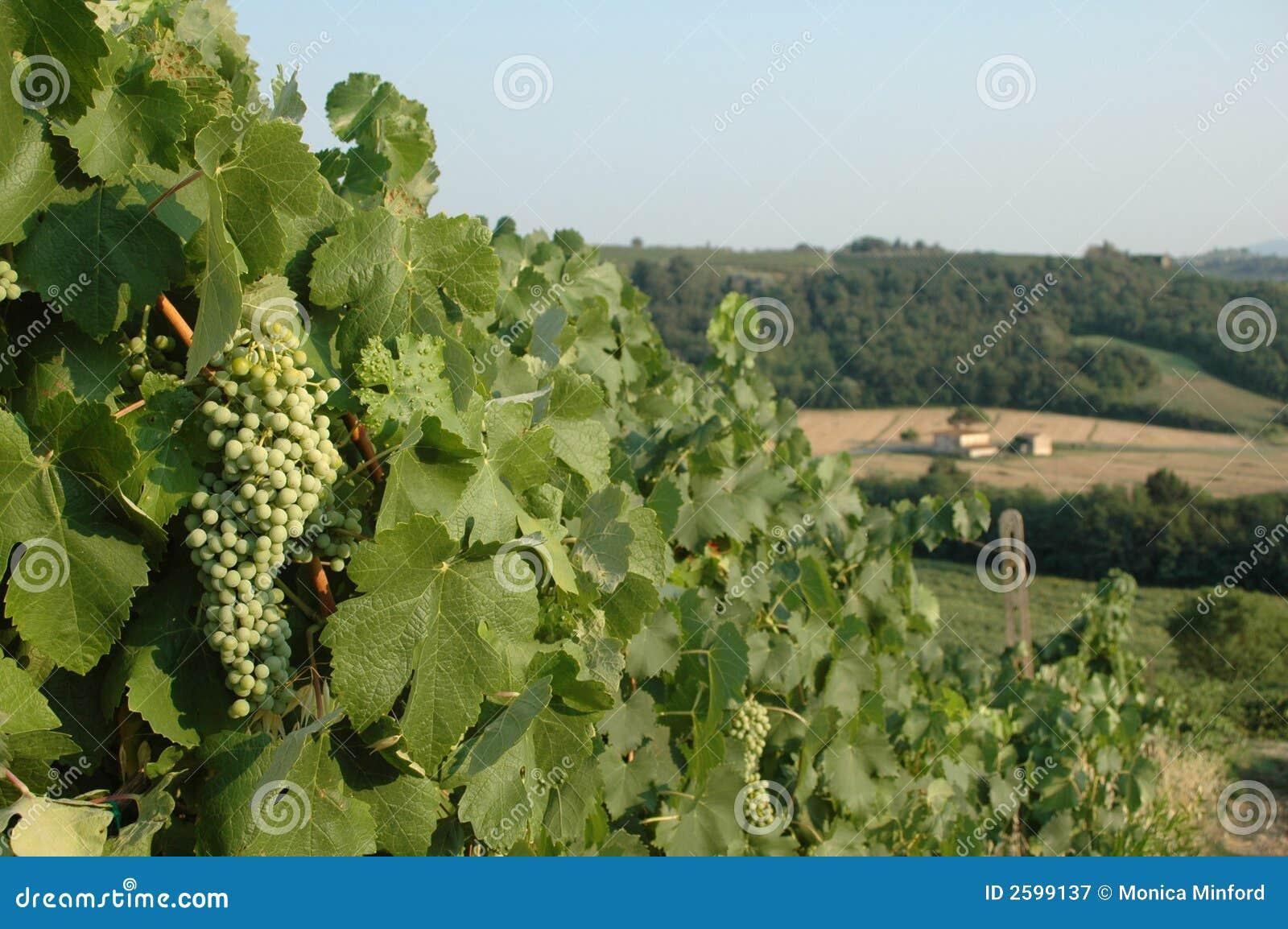 De Druiven van de wijngaard