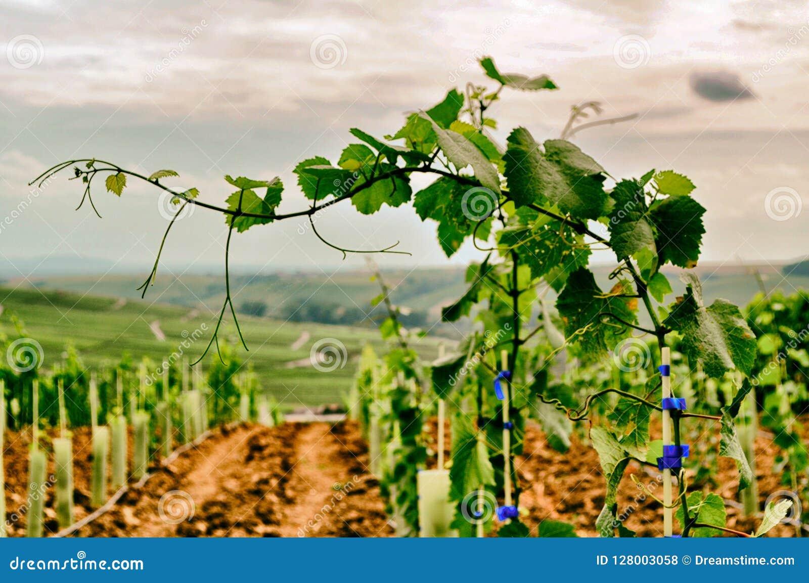 De Druiven van de Frankenwijn op de Wijnstok Klaar voor Oogst volkach