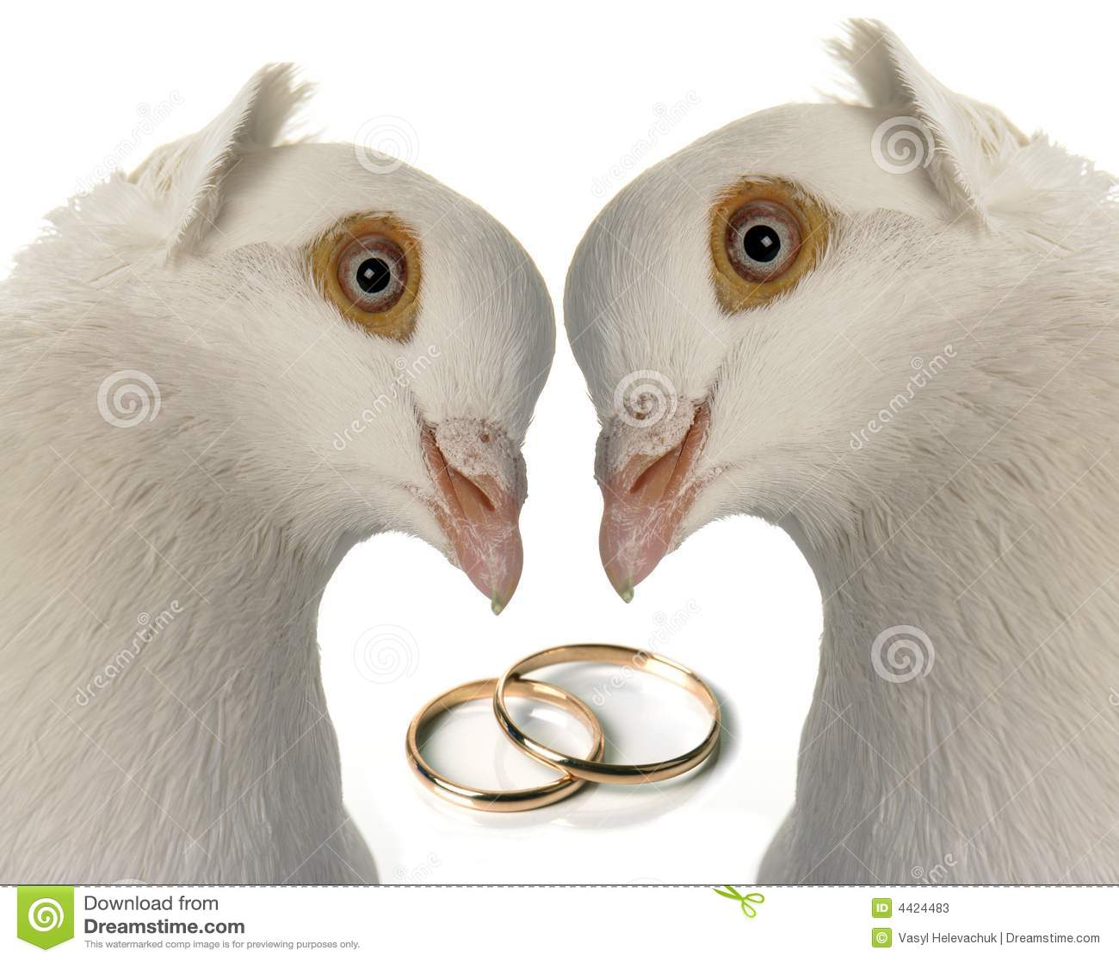 De duif van het huwelijk stock afbeelding