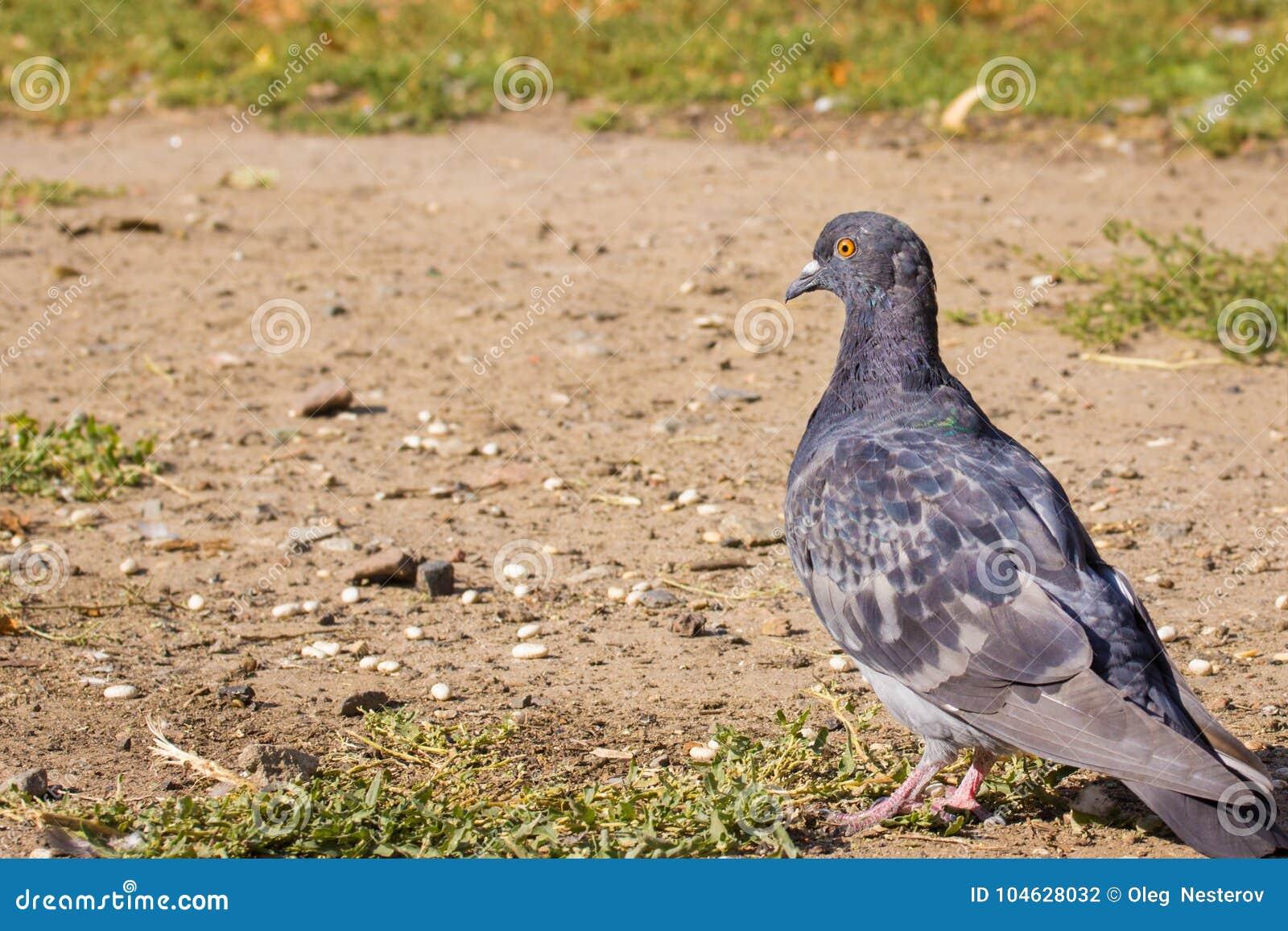 Download De Duiftribunes Op De Grond Stock Foto - Afbeelding bestaande uit status, duif: 104628032