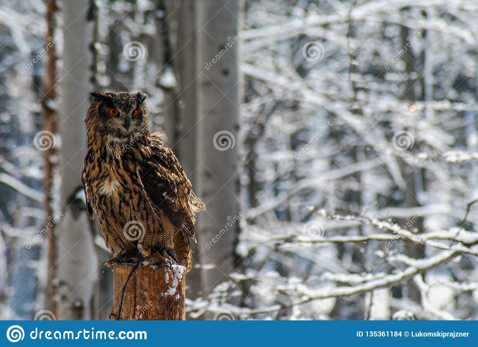 De eagle-uil van Bubobubo