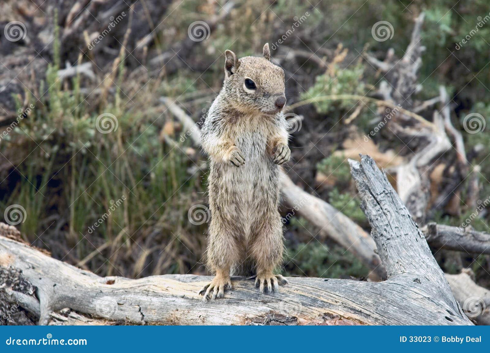 De eekhoorn van de grond