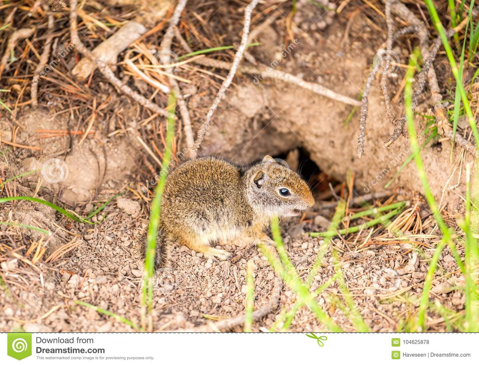Download De Eekhoorn Van De Grond Van Uinta Stock Foto - Afbeelding bestaande uit zoogdier, eekhoorn: 104625878