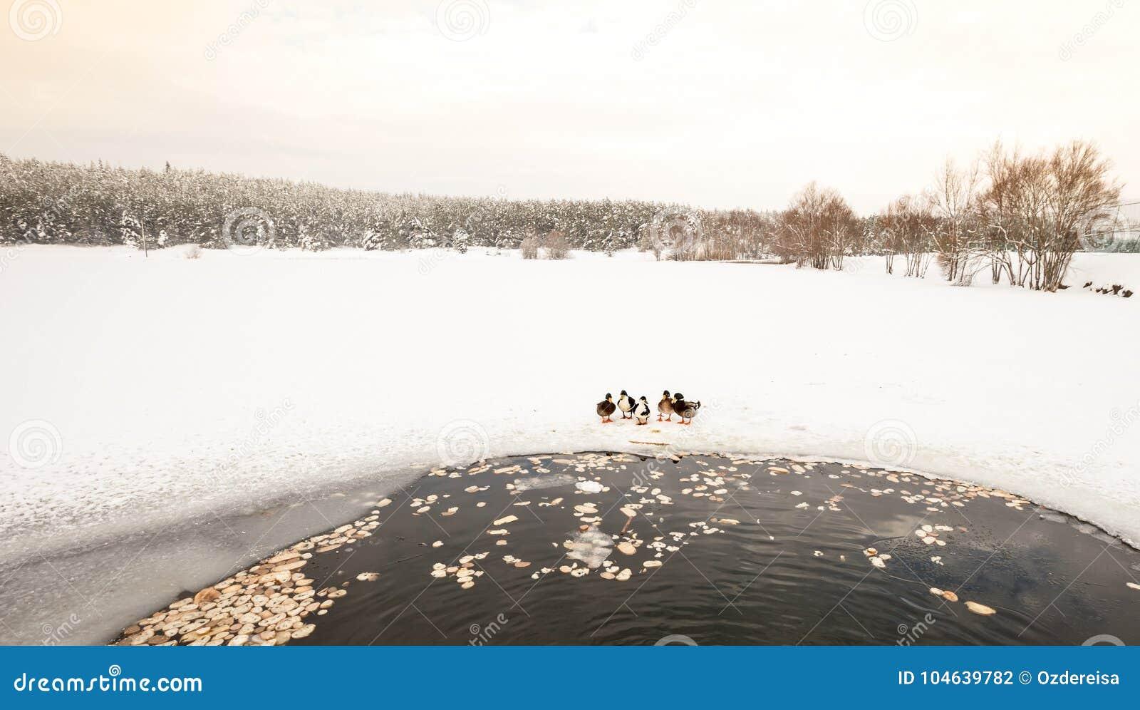 De eenden zijn dichtbij de winter bevroren meer met pijnboombos