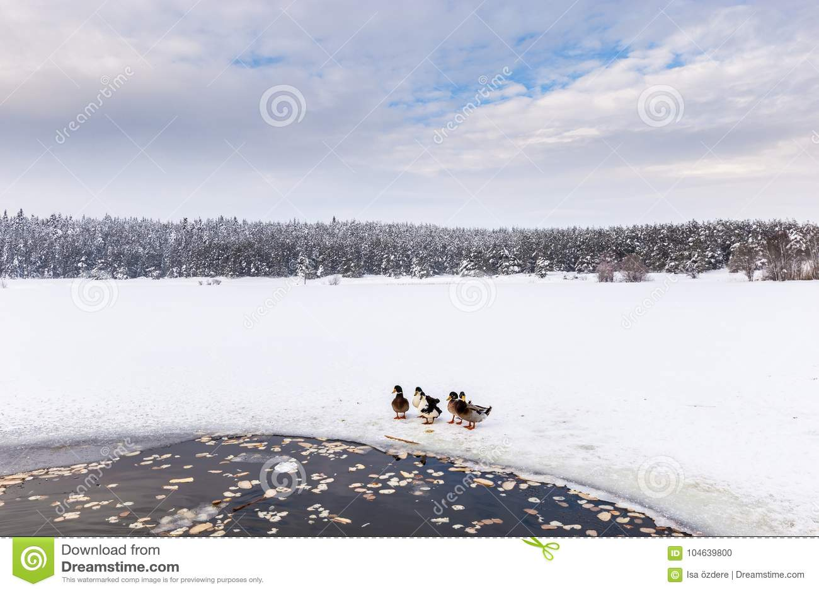 Download De Eenden Zijn Dichtbij De Winter Bevroren Meer Met Pijnboombos Stock Foto - Afbeelding bestaande uit kerstmis, blauw: 104639800