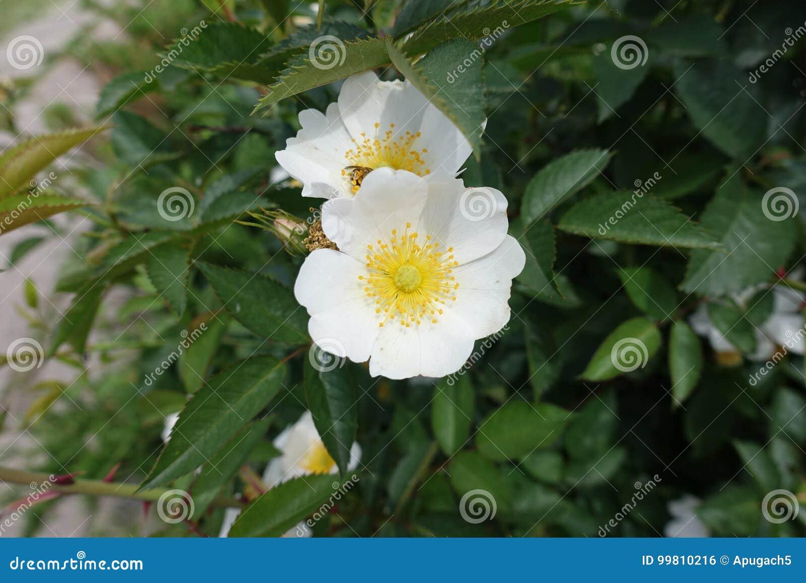 Vaak De Eenvoudige Witte Bloemen Van Namen Toe Stock Foto - Afbeelding @ZQ51
