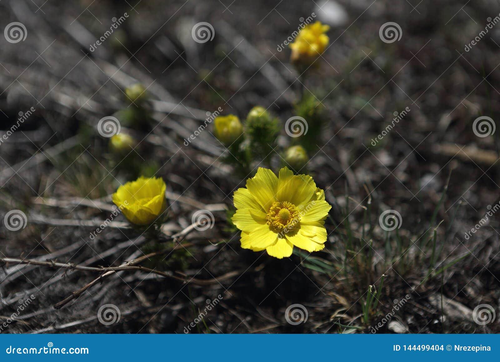De eerste bloemen van de gebiedslente
