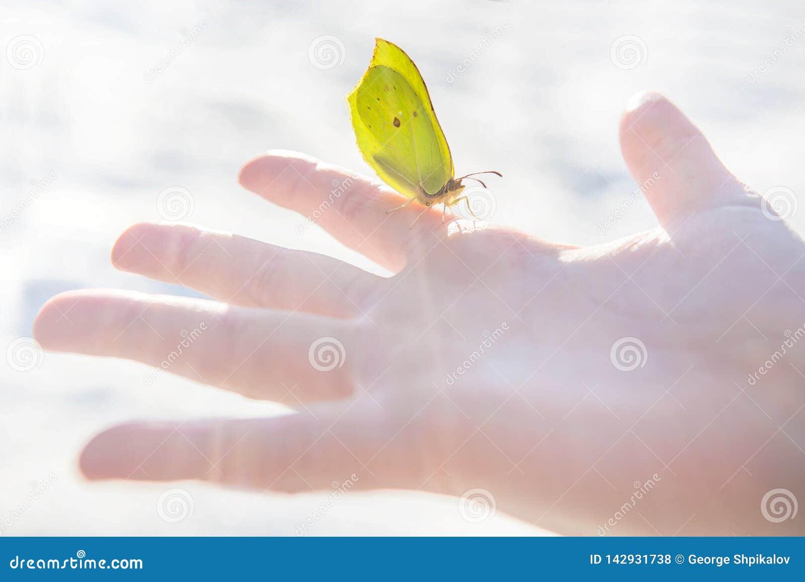 De eerste de lente gele vlinder zit calmly op de palm van een open kind tegen vage sneeuwachtergrond