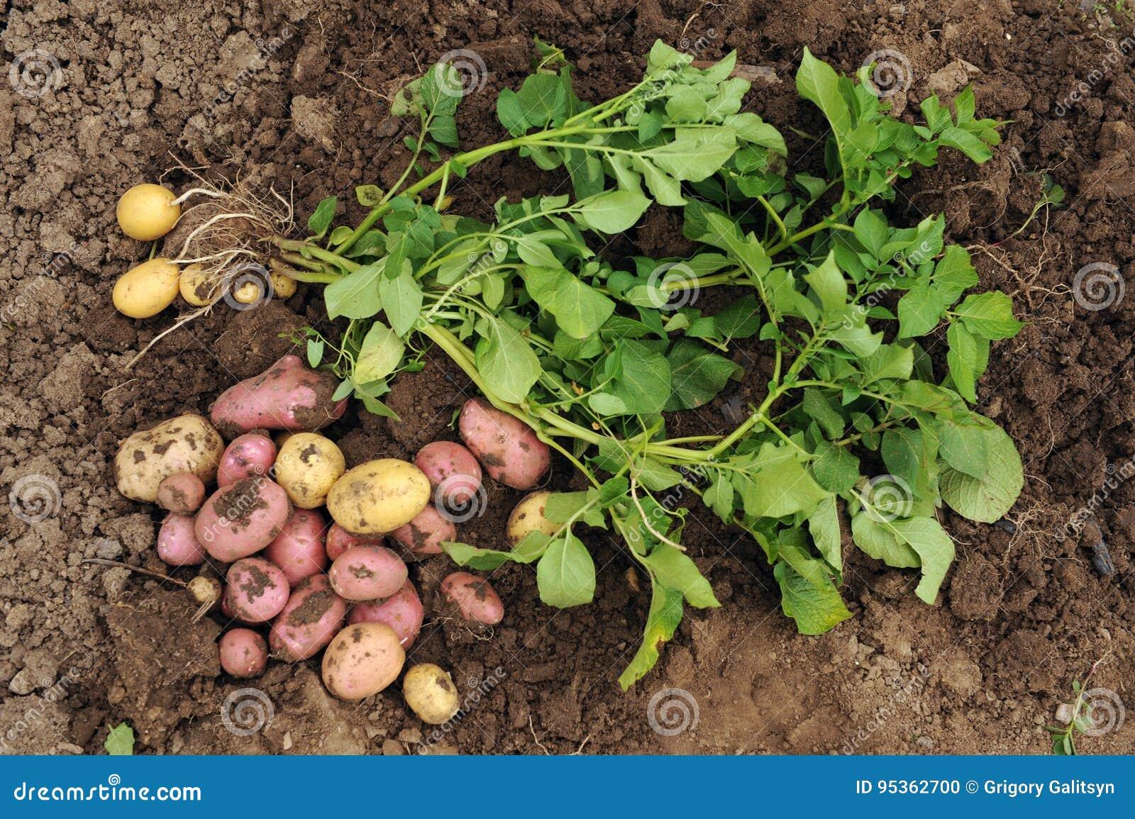 De eerste oogst van jonge aardappels
