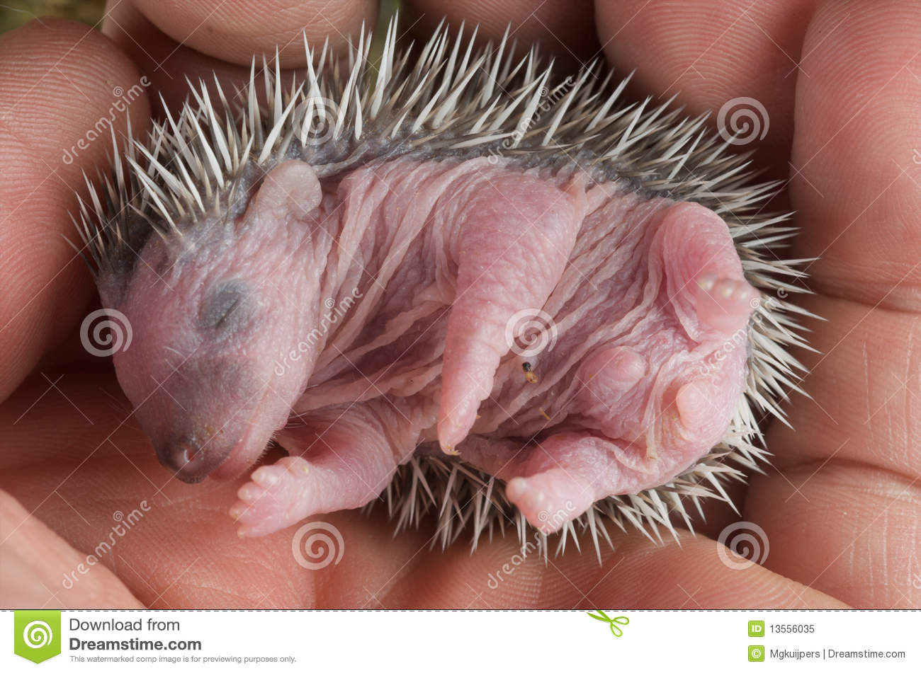 What do baby hedgehogs look like